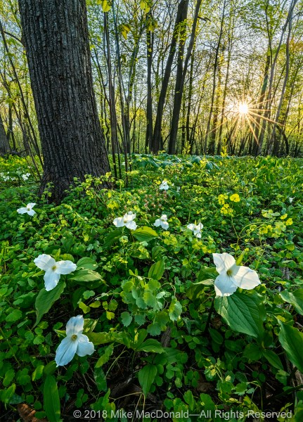 It's May, and large-flowered trillium radiate their beauty in the glow of the morning sun at woodland of Fermilab Natural Areas in Batavia, Illinois.