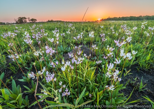Shooting Stars glow in the final light of day at Fermilab Prairie in Batavia, Illinois.*