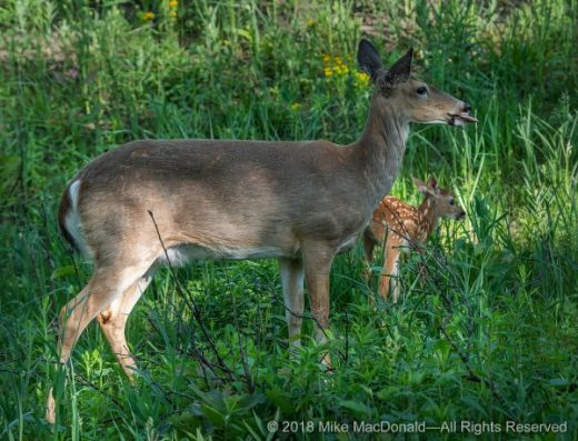 Mother white-tailed deer and her fawn at Miller Woods Nature Preserve, part of Indiana Dunes National Lakeshore in Gary, Indiana.