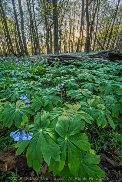 The morning sun greets the fanning rays of mayapple and the fragrant blooms of Virginia bluebell on this spring morning at O'Hara Woods Nature Preserve in Romeoville, Illinois.
