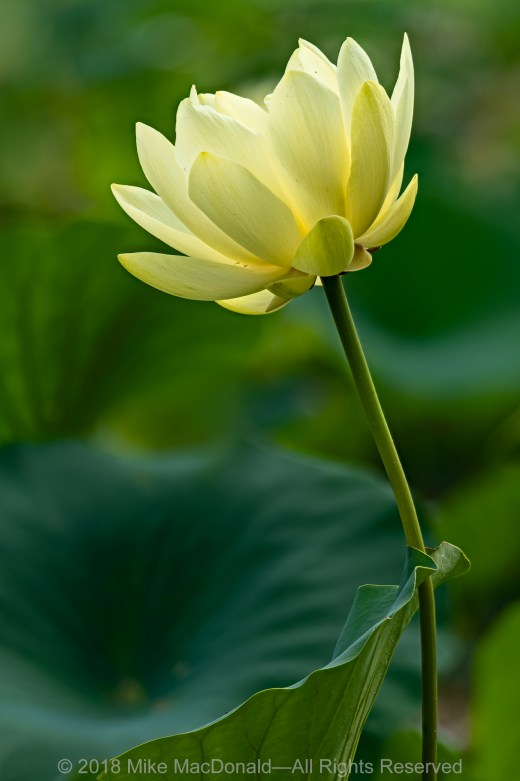 American Lotus at Tomahawk Slough in Willow Springs, Illinois