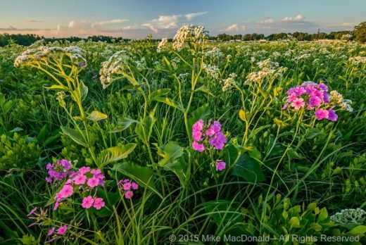 The summer sun goes down on wild quinine and marsh phlox as nonstop tollway traffic rolls past its eastern aorder. Each hour of each day, people drive by, unaware of the natural treasures they'd discover by taking the West 159th Street exit.*