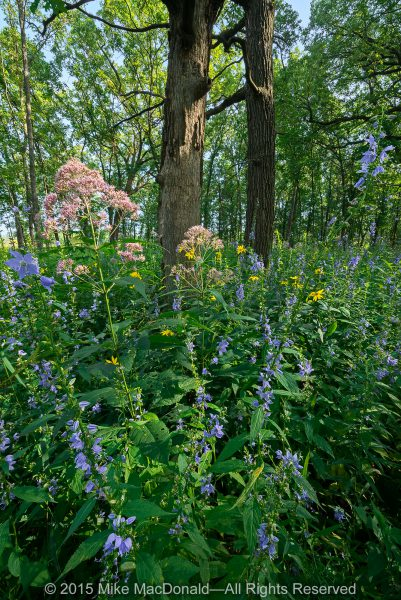 Sweet Joe-Pye weed, American bellflower, and woodland sunflower put on a show in the woodland at Somme Prairie Grove in Northbrook, Illinois.*