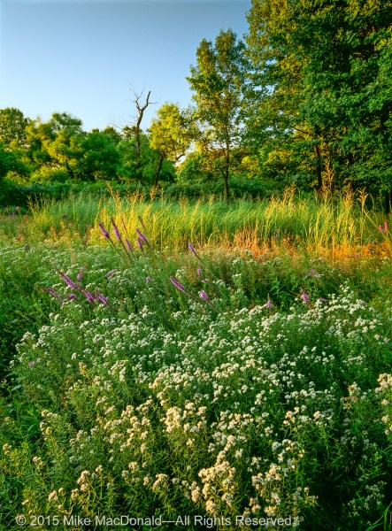 Mountain mint and prairie blazing star flower in the July prairie at Spears Woods in Willow Springs.*