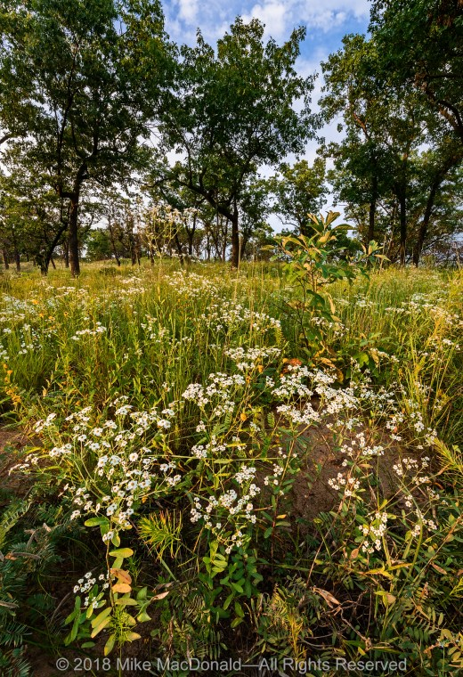 In August, the white blooms of flowering spurge erupts across the sand savanna at Pembroke Savanna Nature Preserve in Hopkins Park, Illinois.*