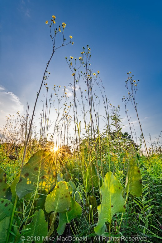 """A """"forest"""" of compass plants reach for the sky at Wolf Road Prairie in Westchester, Illinois.*"""