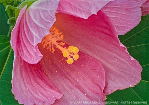 The beautiful blooms of swamp rose mallow is a plant that can be found in August around some of Chicago's wetlands.*