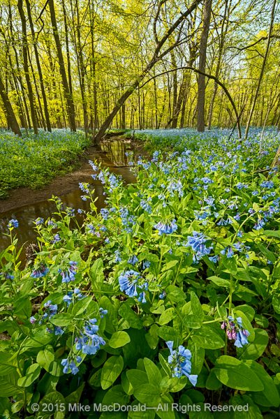 Come to Pilcher Park in April for the dramatic performance starring Virginia bluebells.*