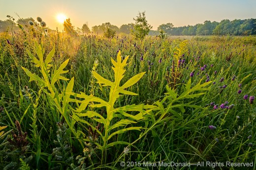 Here, at Somme Prairie Grove in Northbrook, Illinois , we see the large, deeply lobed leaf of compass plant among a sea of purple prairie clover.*