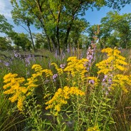Chicago Wildflower Report & COVID-19 Nature Outings – 09/03/2020