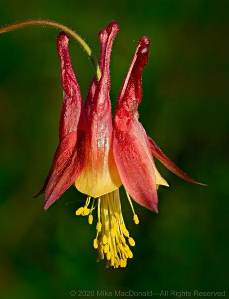 Wild columbine of species Aquilegia canadensis at Miller Woods in Indiana Dunes National Park.*