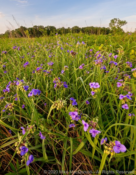 The blossoms of Ohio spiderwort open to meet a new day at Wolf Road Prairie in Westchester, Illinois.*