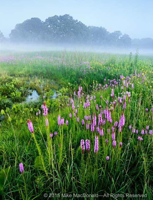This is the main seep of the fen at Bluff Spring Fen in Elgin. In July, marsh blazing star blooms in the high ground surrounding it.*