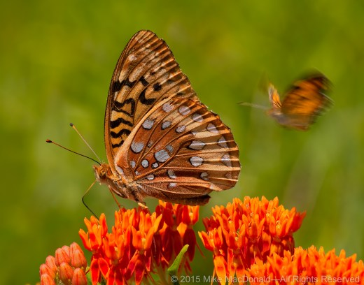Great spangled fritillary butterflies (species Speyeria cybele) and butterfly weed in the prairie at Spears Woods in Willow Springs, Illinois.