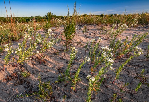 Flowering spurge glows in the summer morning light on the sand prairie at Illinois Beach Nature Preserve in Zion, Illinois.*