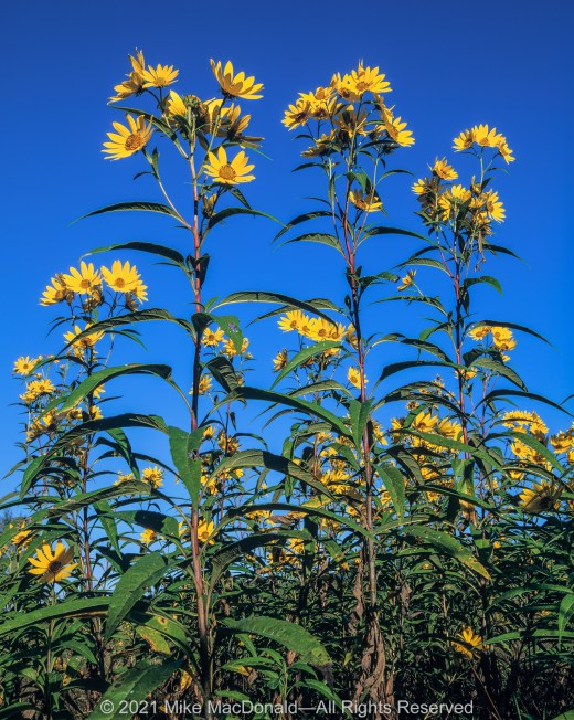 At Wolf Road Prairie in Westchester, Illinois, golden rays of sawtooth sunflowers tower above the September grassland.