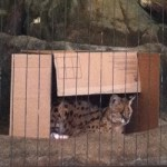 Lincoln Park Zoo: New lion exhibit opening