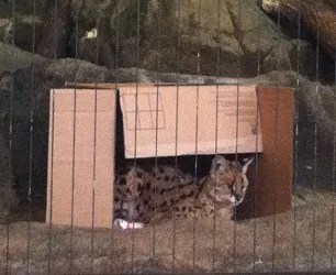 Lincoln Park Zoo Serval