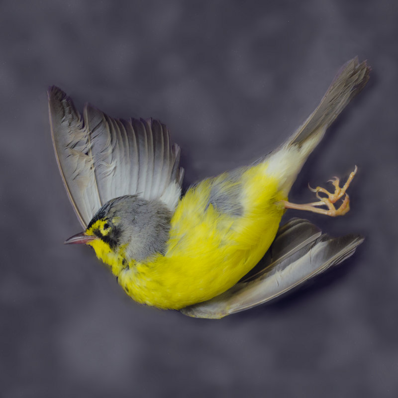 <i>Canada Warbler</i>, Art Fox