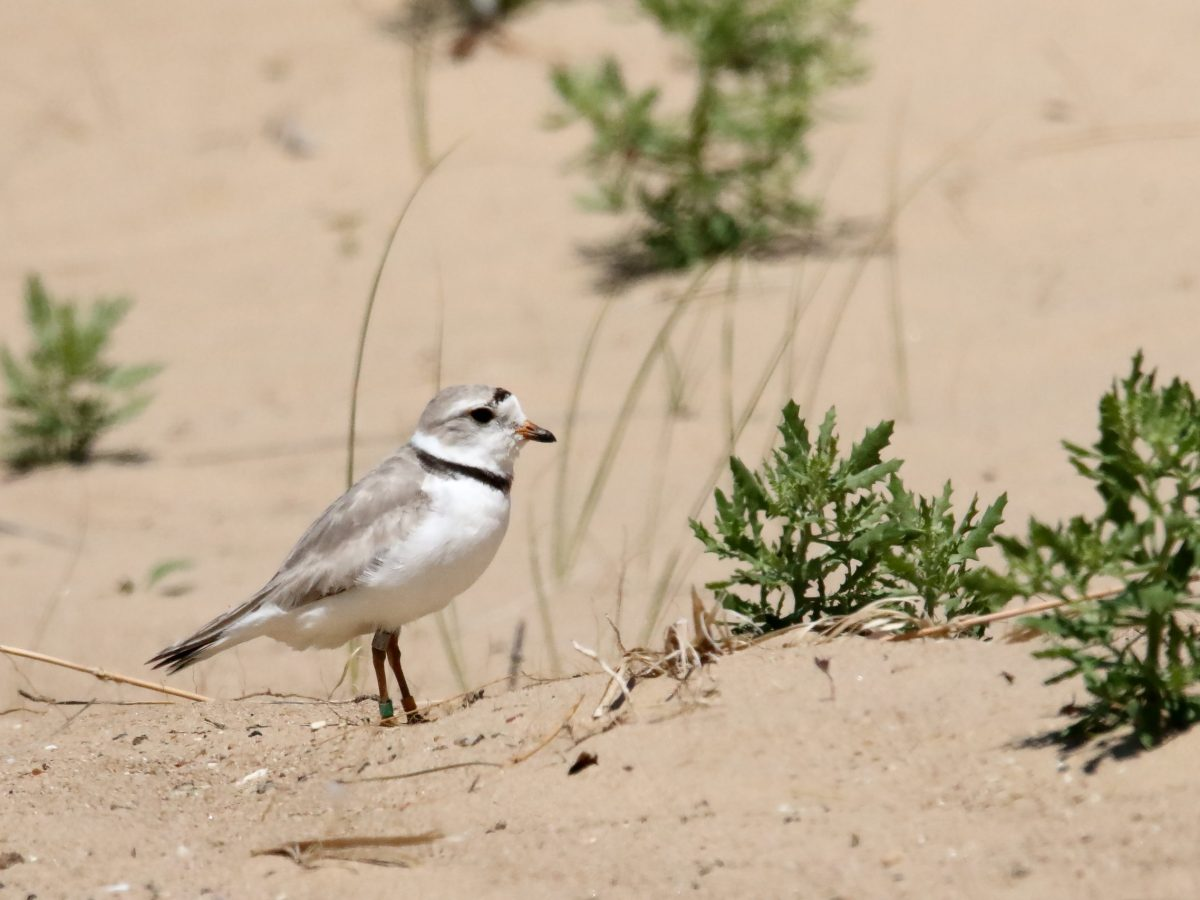 Monty the piping plover