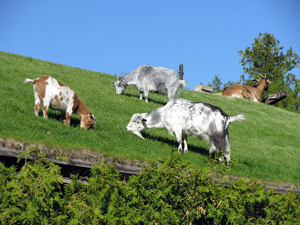 There is no more endearing sight on the entire peninsula than the goats grazing on the roof of Al Johnson's Swedish Restaurant.
