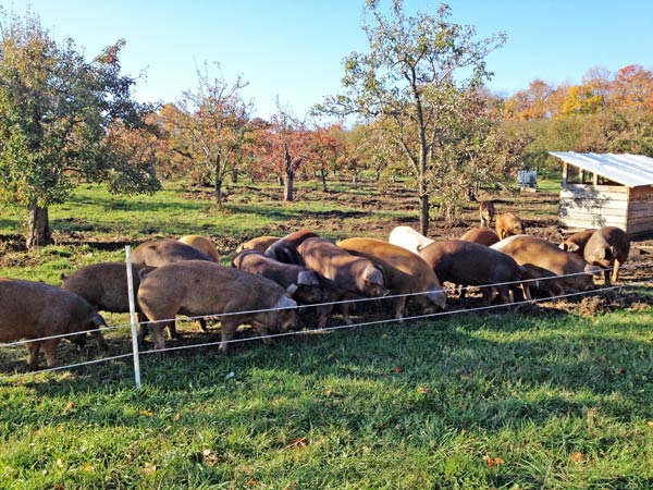 Bare Knuckle Farm, on northern Michigan's Leelanau Peninsula, raises hogs in orchards where they forage on apples, pears, chestnuts, and worms.