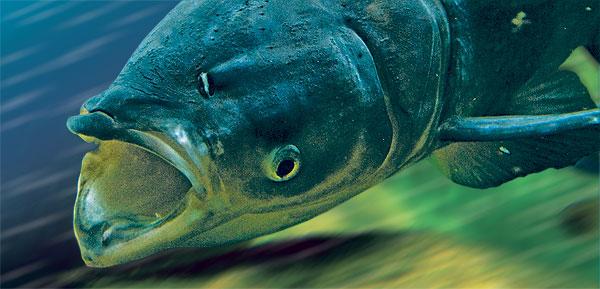 Bighead carp at the Shedd Aquarium