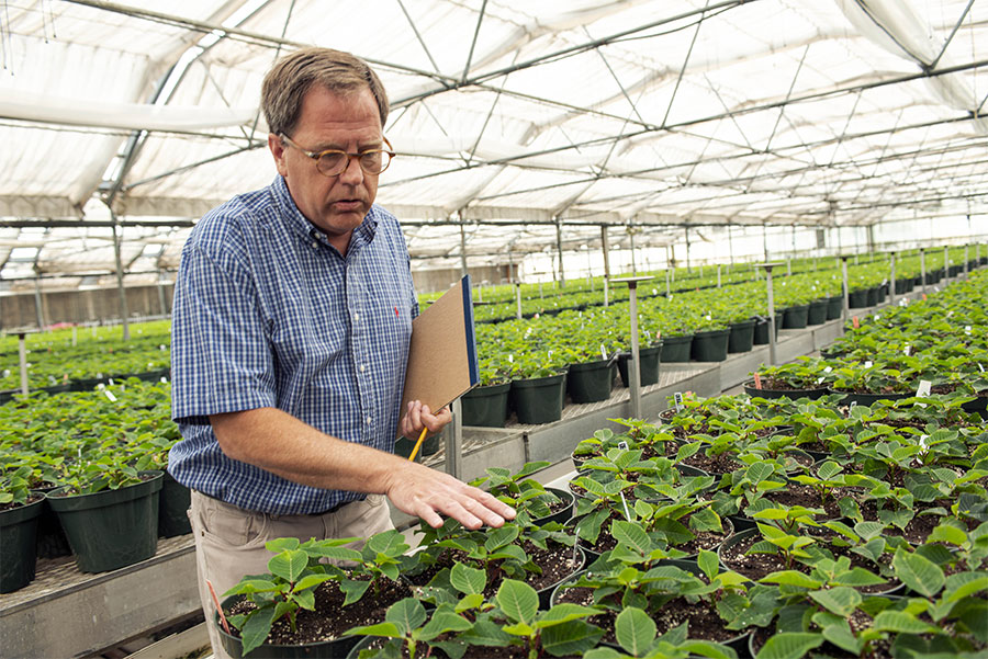 Leider Greenhouses grows poinsettias several months in advance of the winter.