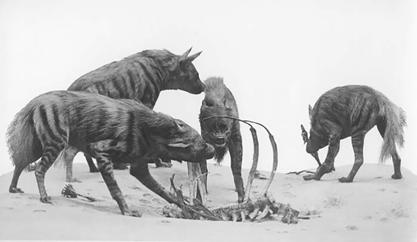 The hyenas in their current diorama in the Hall of Reptiles