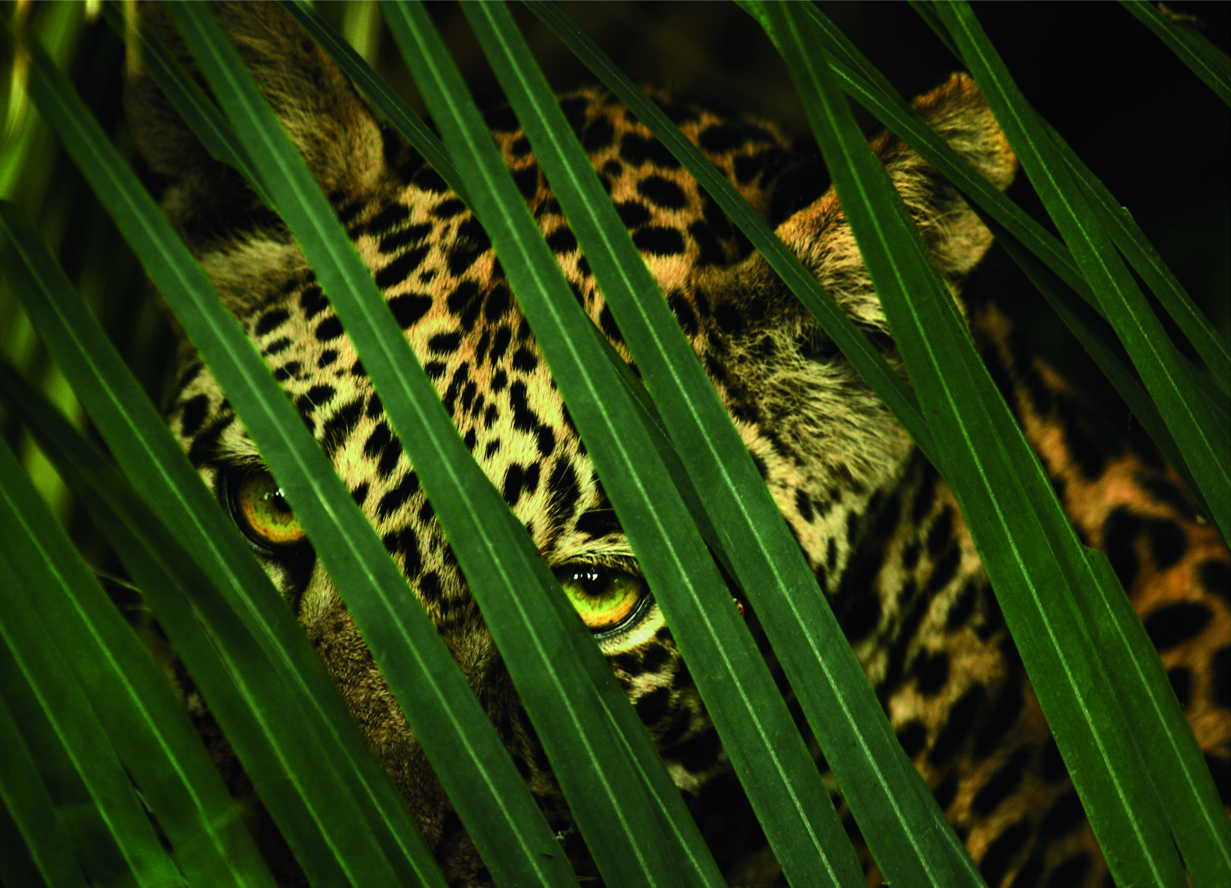 A leopard's spotted coat provides camouflage in the dense forest.