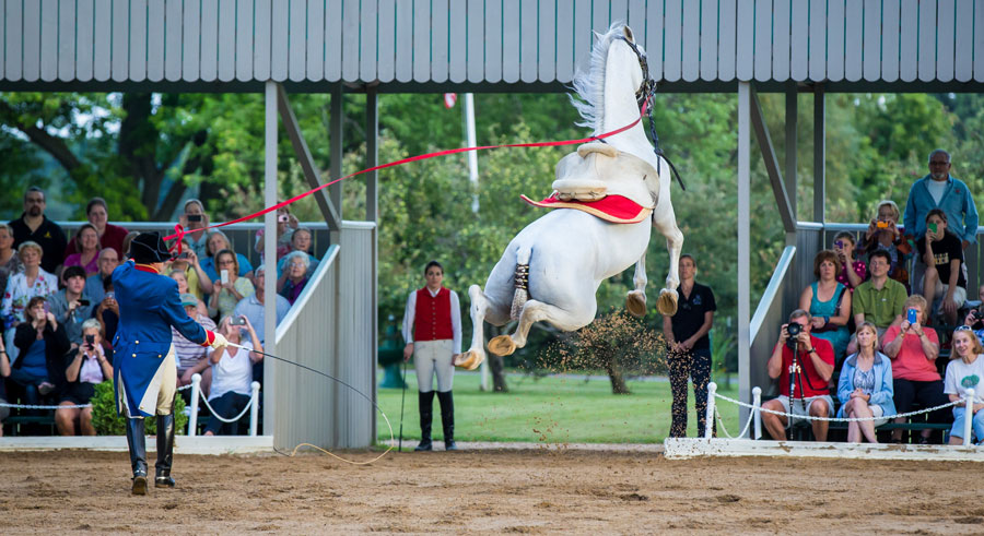 The Tempel Lipizzaner Matinee features white stallions performing their version of ballet.
