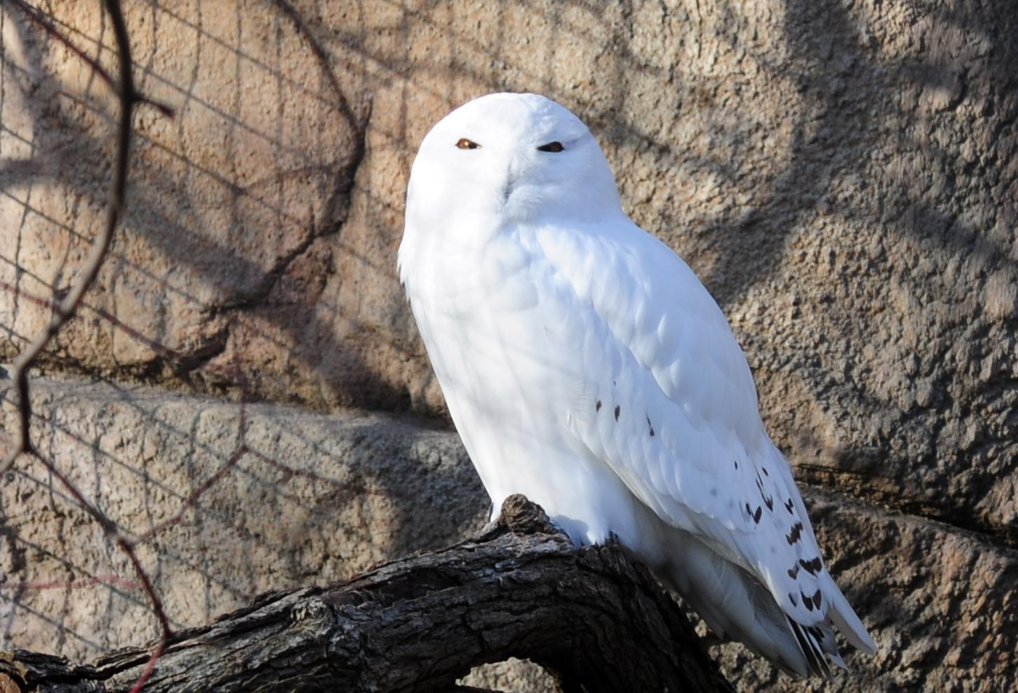 Map Snowy Owl Sightings In Chicago Area Wttw