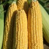 Sweetcorn seeds Earliking