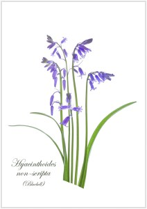botanicals-bluebells-lorna-brown