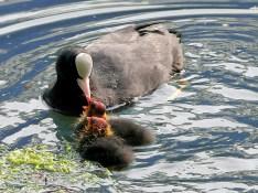 Coot feeding chicks