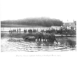 Circus elephants bathing in Southgate basin