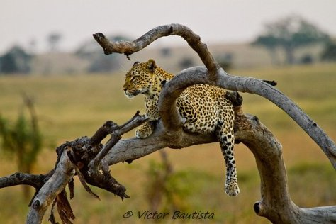 Leopard in the Serengeti, Tanzania