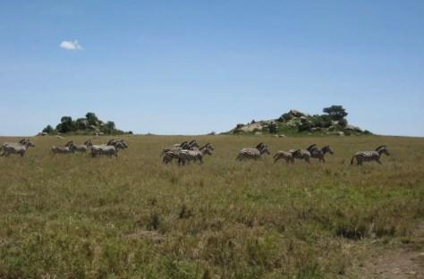Zebra in Wildebeest migration, Serengeti, Tanzania