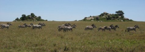 Zebra in the Wildebeest Migration, Serengeti, Tanzania