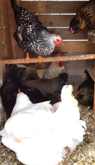 mixed flock of chickens in a small coop