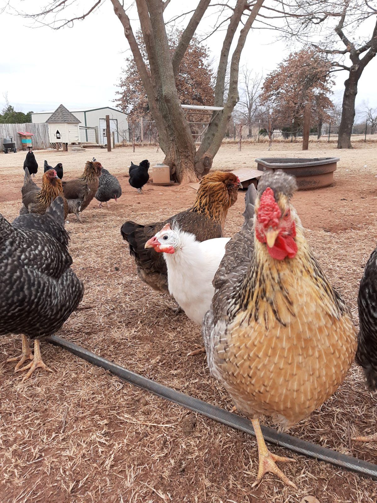 more chickens in yard