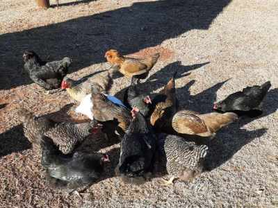 Chickens eating On dos and don'ts of feeding chickens