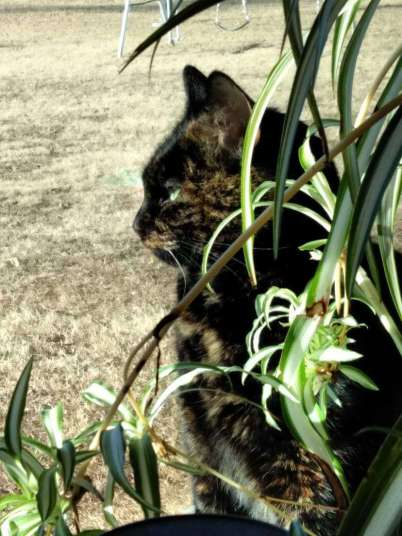 adorable picture of tortoiseshell cat by window