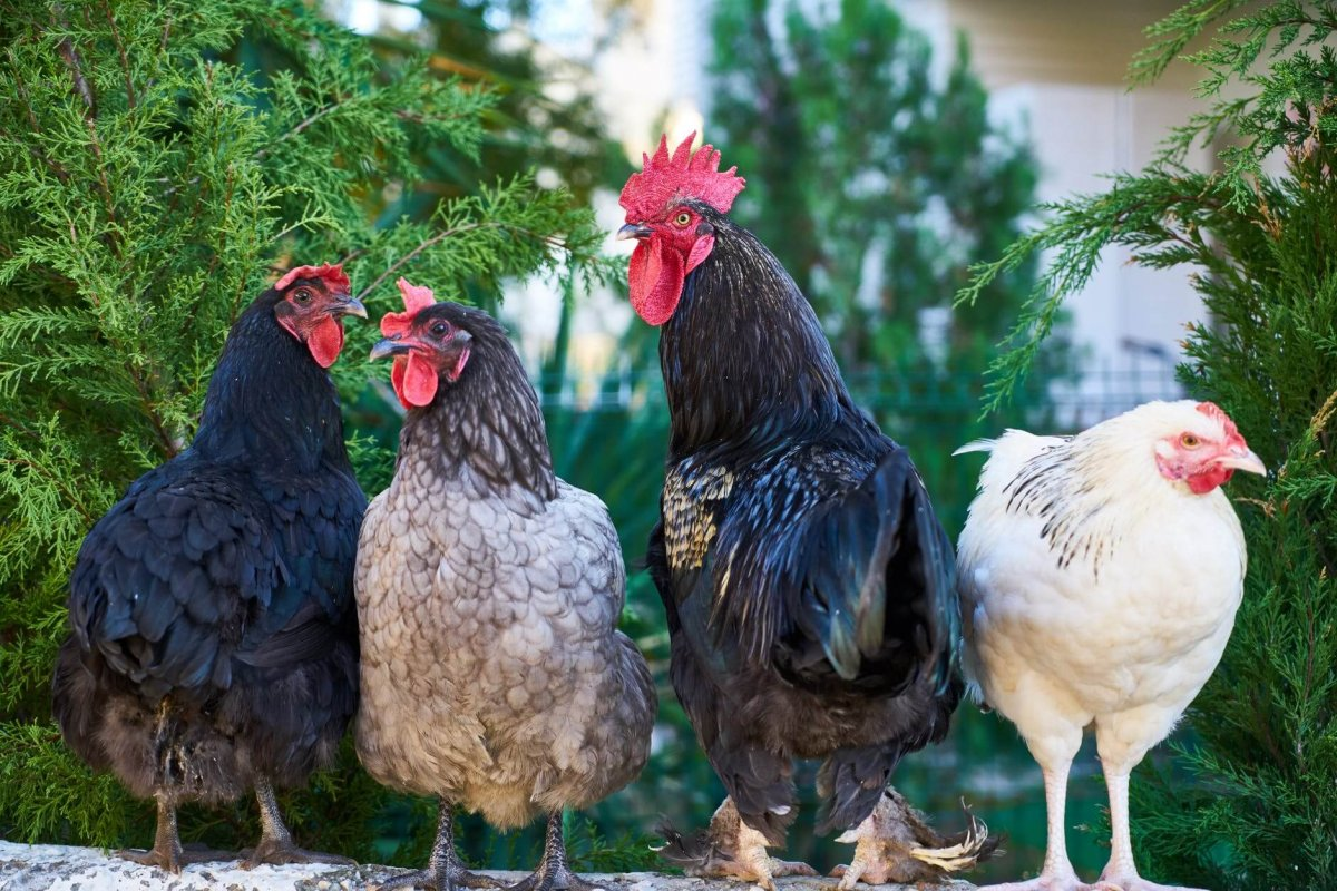 four assorted color chickens