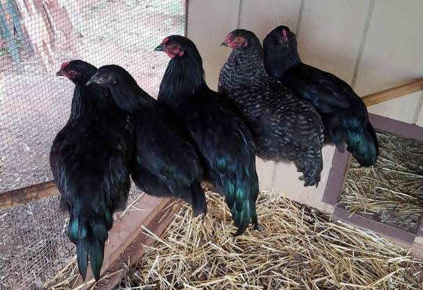 mixed flock of 5 chickens roosting in a coop