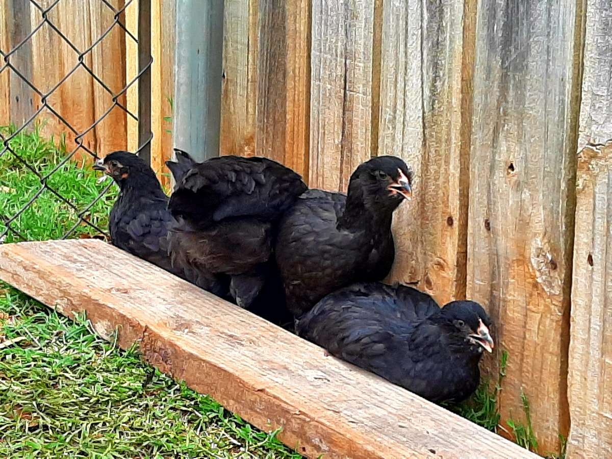 Black juvenile chickens in a fenced yard
