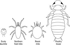 Mites and Lice on Chickens | Chicken Feeder Reviews