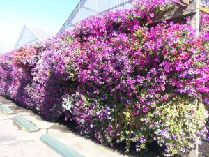18 Petunias wall Eugene