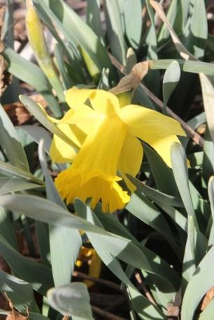 Daffodils in bloom!