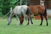 Cavalos em Mazagão